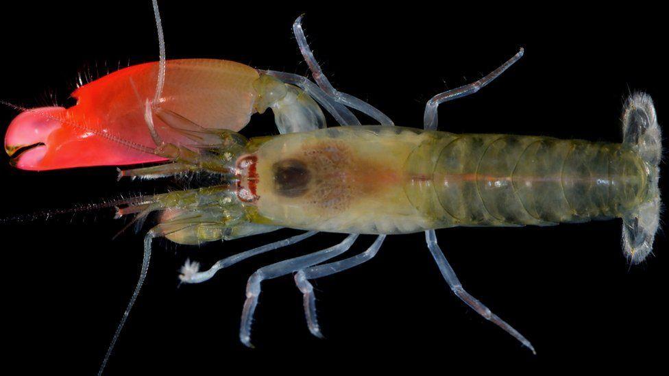 Synalpheus pinkfloydi: el camarón que puede matar peces con ruido