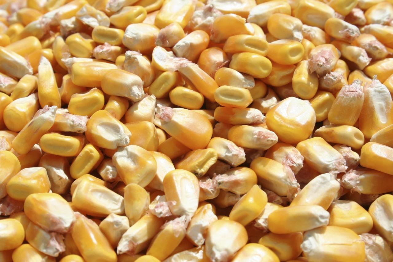 Preparan verificación de red  almacenamiento de maíz