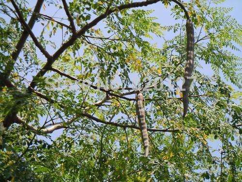 Moringa, planta milagrosa