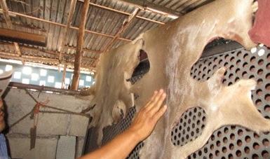Aseguran pieles de venado de presunta caza furtiva en Yucatán