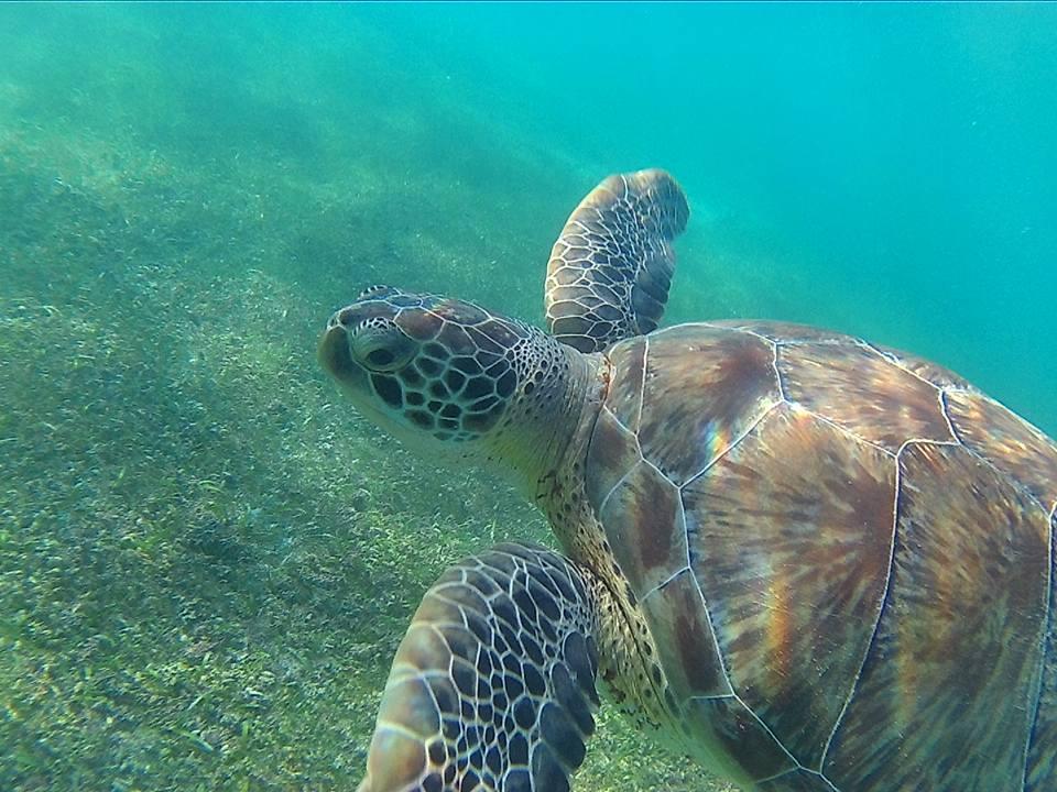 Reanudan nado con tortugas en Akumal