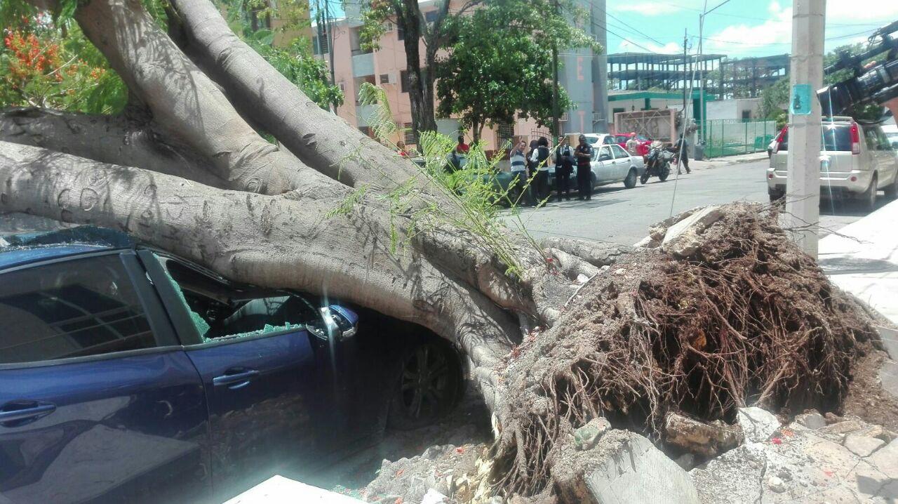 Efecto de lluvias: viejo flamboyán cede y cae sobre autos