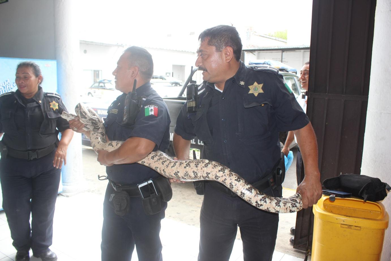 Capturan boa de más de 2 metros en centro de Mérida
