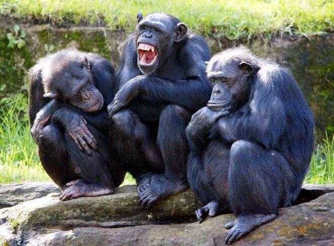 Por qué los chimpancés son más fuertes que los seres humanos