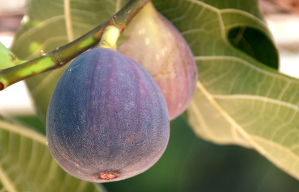 PLANTACCIÓN: HIGO (Ficus carica)