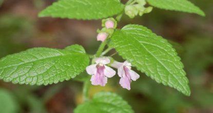 toronjil planta medicinal