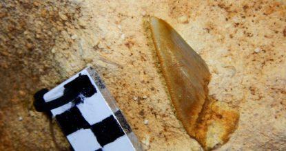 Megalodón diente (1)