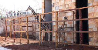 jirafas zoologico