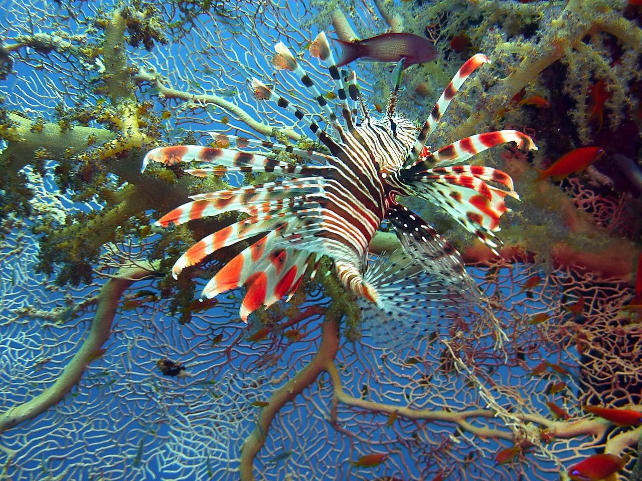 Nada frena al pez león en aguas mexicanas