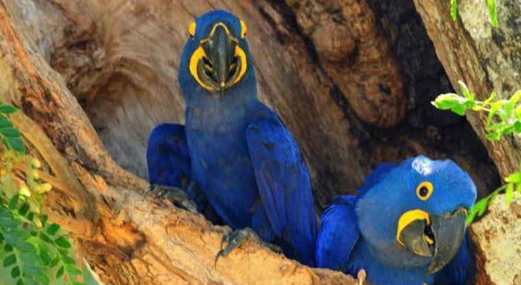 Hallan en Yucatán nueva especie de loro