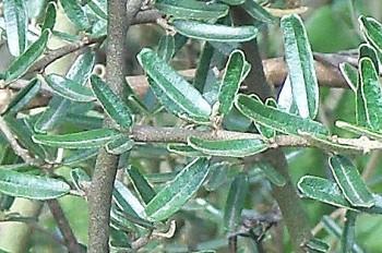 Plantacción: Ácido úrico (Palo azul y Elemuy)