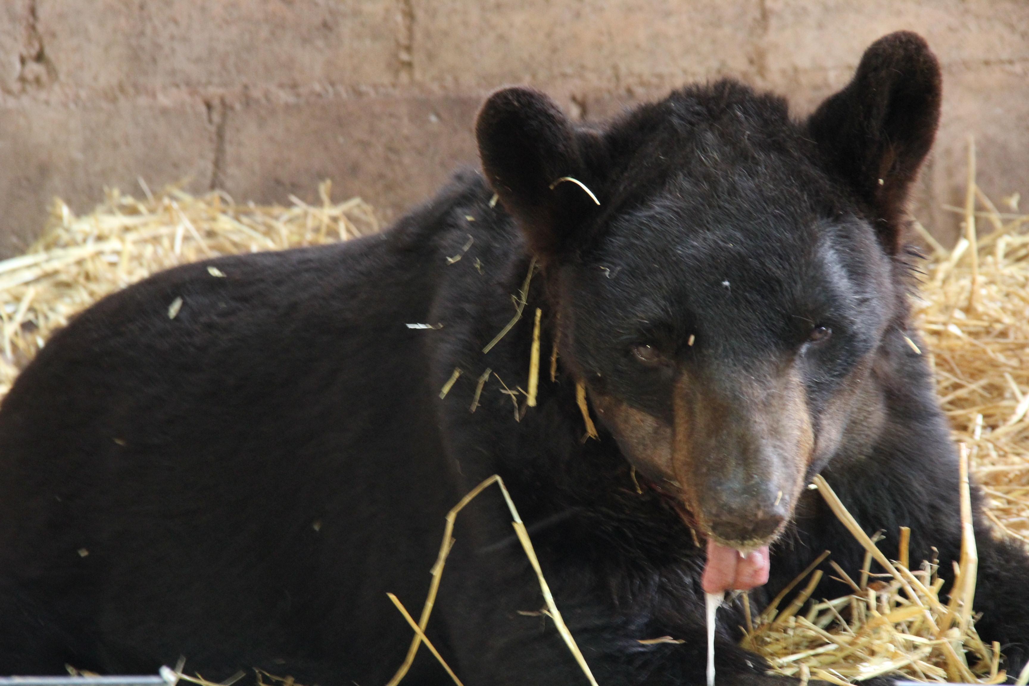 Justicia post mortem a oso 'Invictus'