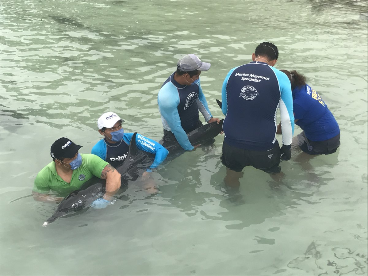 Intentan salvar en QRoo delfín que varó en playas yucatecas