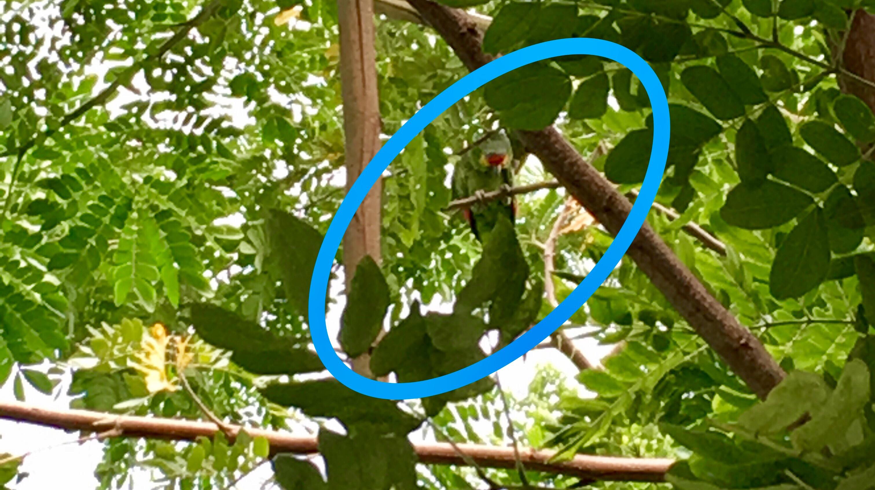 Inusual avistamiento de loros verdes en oriente de Mérida