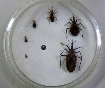 """En riesgo 16 por ciento de la población por """"mal de Chagas"""""""
