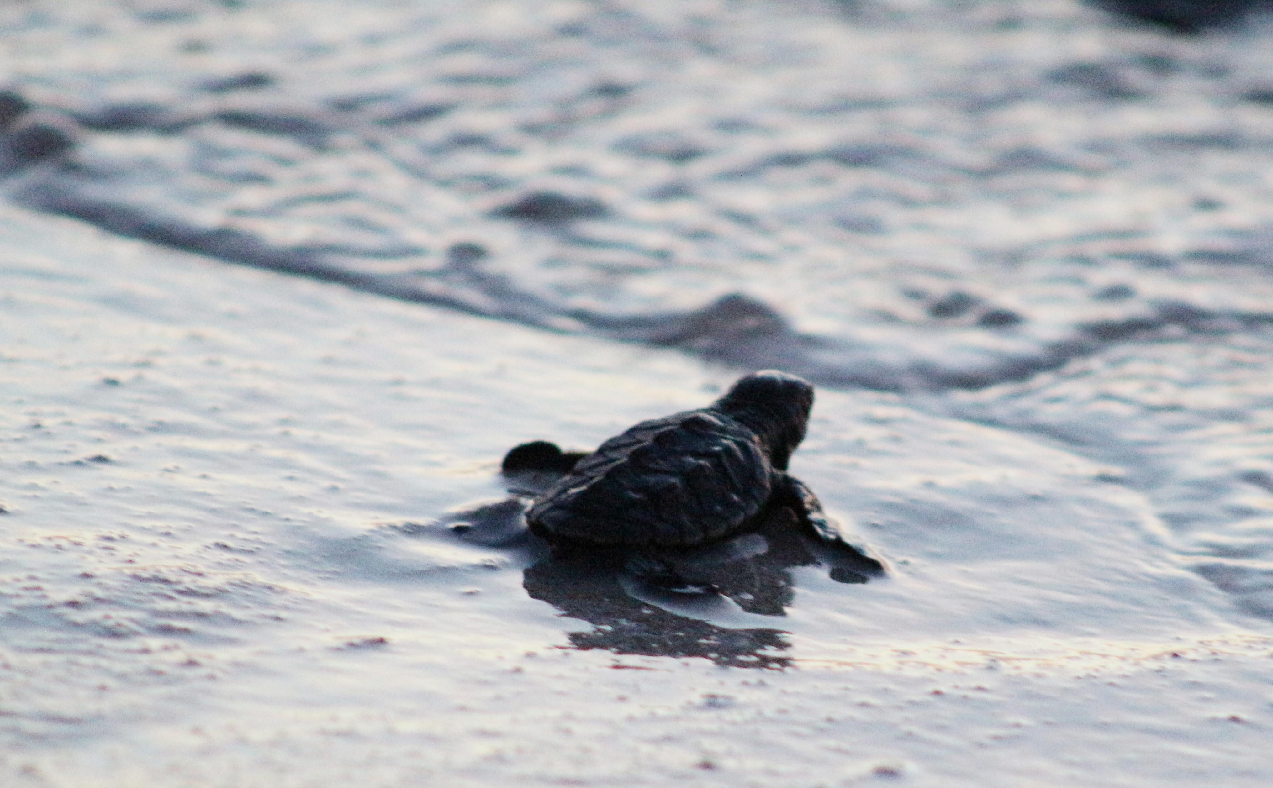 Liberan tortugas marinas en Telchac Puerto