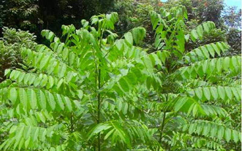 Plantacción: Cedro (Cedrela odorata)
