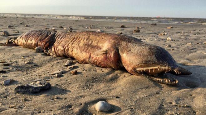 Encuentran misteriosa criatura en playa de Texas tras paso de 'Harvey'