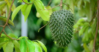hojas-de-guanábana-previenen-el-cáncer