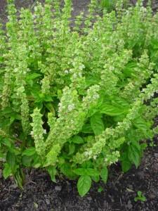 Plantacción: Albahaca (Ocimum basilicum)