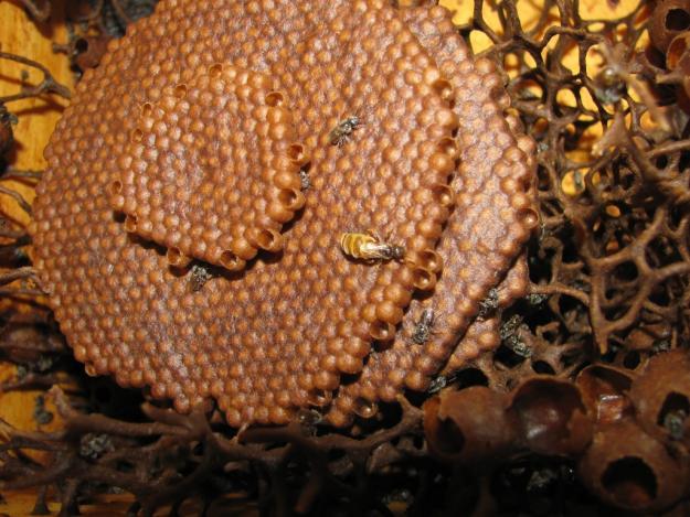 Plantacción: Conjuntivitis y miel melipona