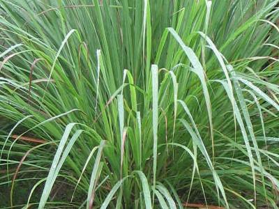 Plantacción: Zacate Limón (Cymbopogon citratus)