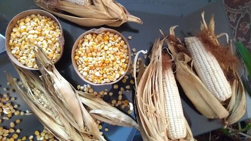 PrimerFestival del Maíz y su entorno cultural y gastronómico este domingo