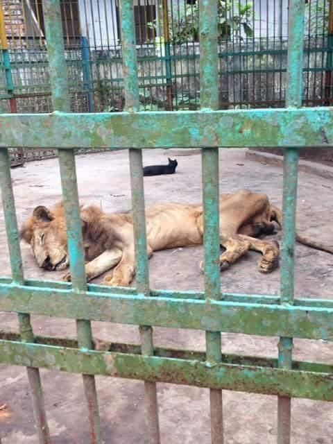 Zoológico exhibe a león desnutrido y causa indignación mundial