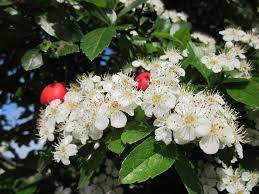 Plantacción: Majuelo (Crataegus monogyma)