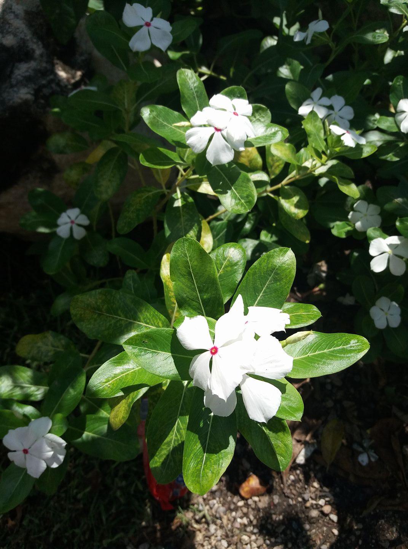 Plantacción: Vicaria Blanca (Catharanthus roseus)