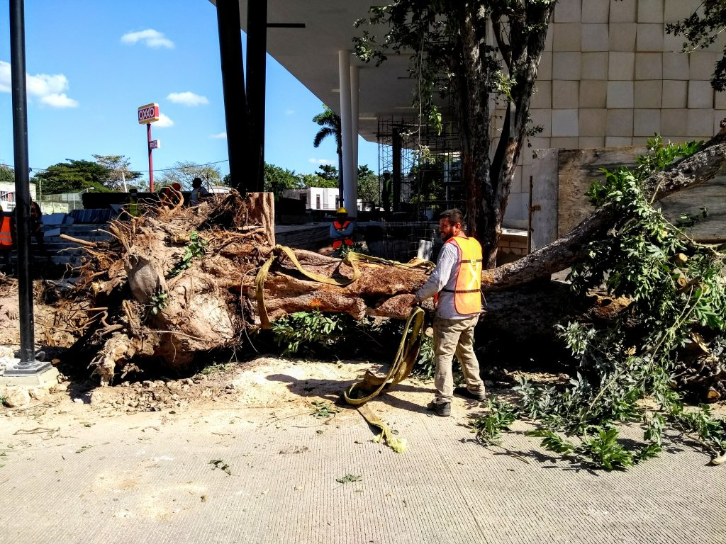 árbol rescatado en centro de congresos mérida