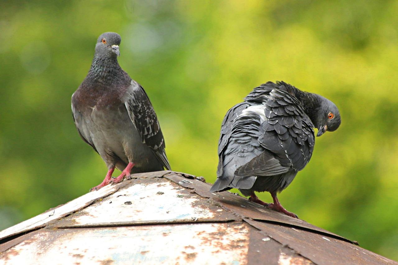 Las palomas no tienen 'cerebro de pájaro': estudio