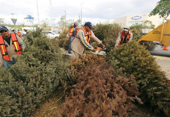 Preparan en Mérida centros acopio para arbolitos de Navidad