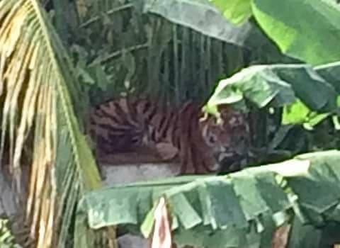Activan alerta en Chetumal…, por tigre