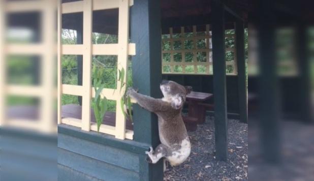 Indignación en Australia por koala atornillado a un poste