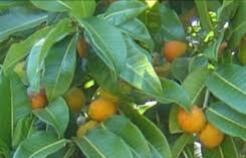 Plantacción: Té de hojas de Ramón (Brosimum alicastrum)