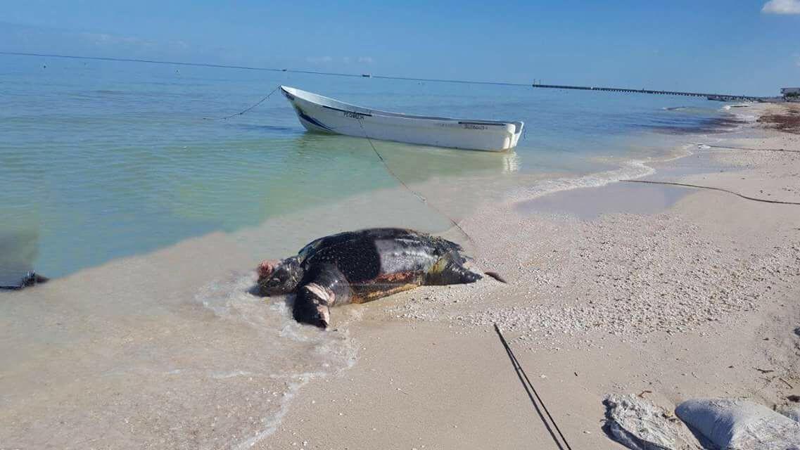 Recala tortuga inerte en costas de Yucatán