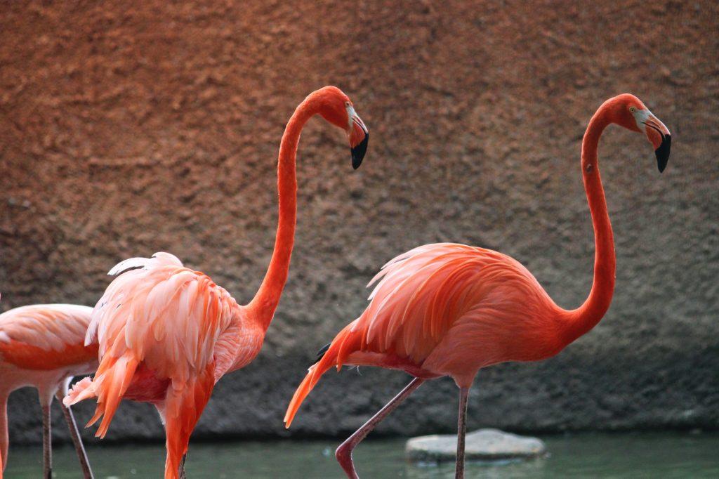 flamencos rosas en parque centenario merida 2018 zoologico