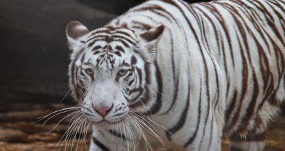 tigre blanco zoologico del centenario merida 2018
