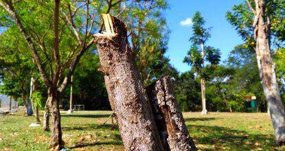En Mérida, cada 6 días  se corta un árbol en vía pública, generalmente porque está representa riesgo. (Foto: Eduardo Vargas/LECTORMX.com)