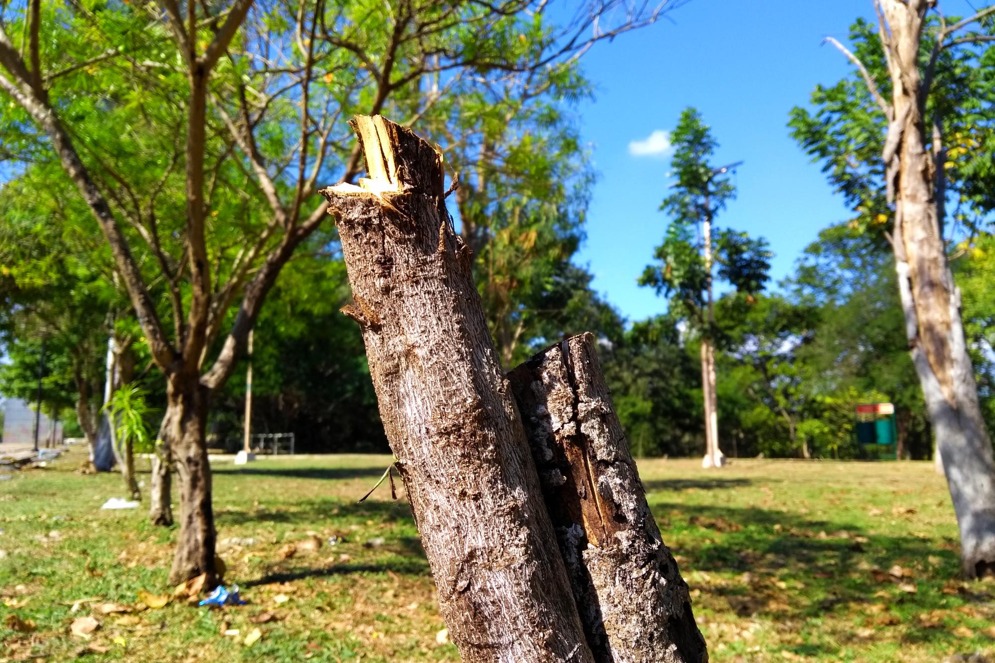 Cada 6 días 'desaparece' un árbol en Mérida, por estas razones (video)
