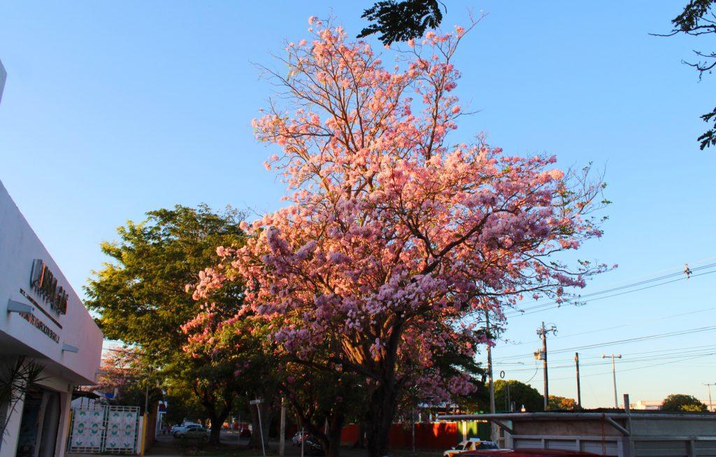 Fecha de inicio primavera 2018 flores calles mérida (2)