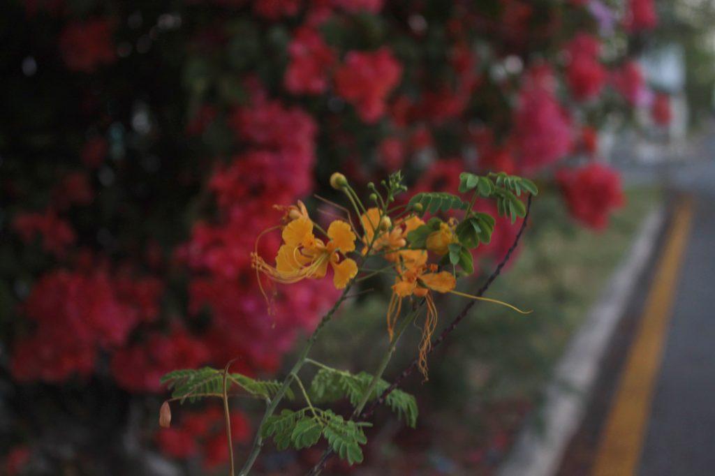 Fecha de inicio primavera 2018 flores calles mérida (6)