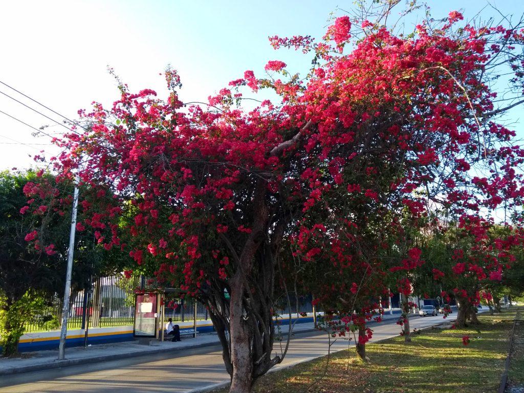 Fecha de inicio primavera 2018 flores calles mérida (9)