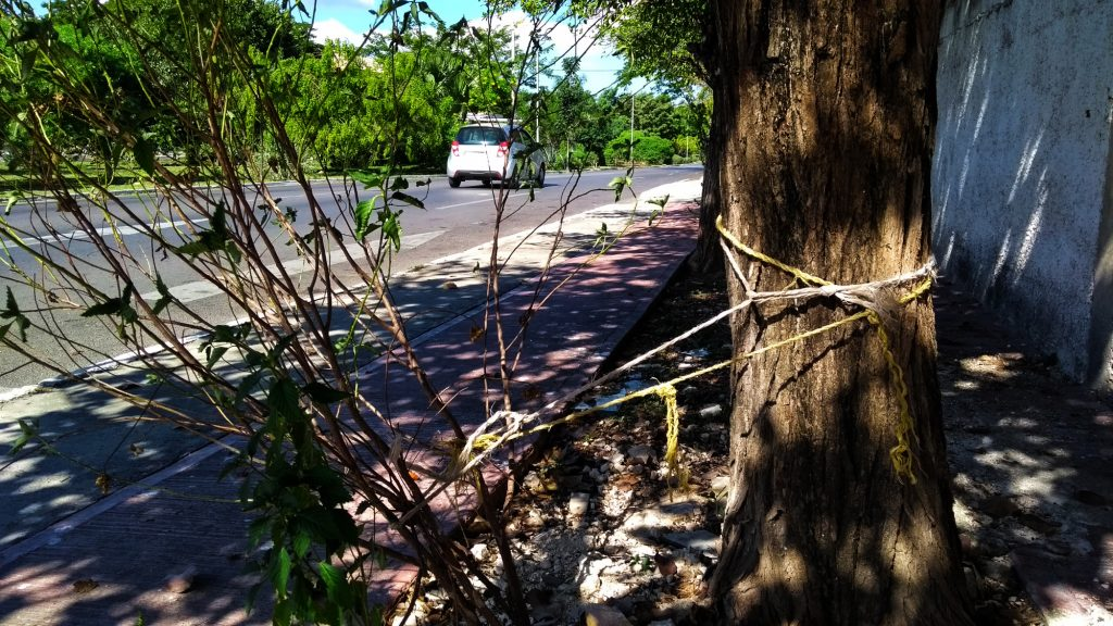 Antes de dictaminar que se corte de raíz un árbol en vía pública se buscan alternativas. (Foto: Eduardo Vargas/LECTORMX.com)