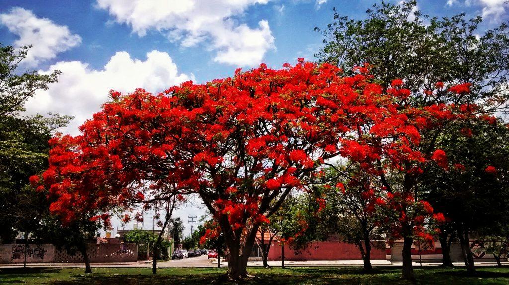 Árboles en vía pública: flamboyán