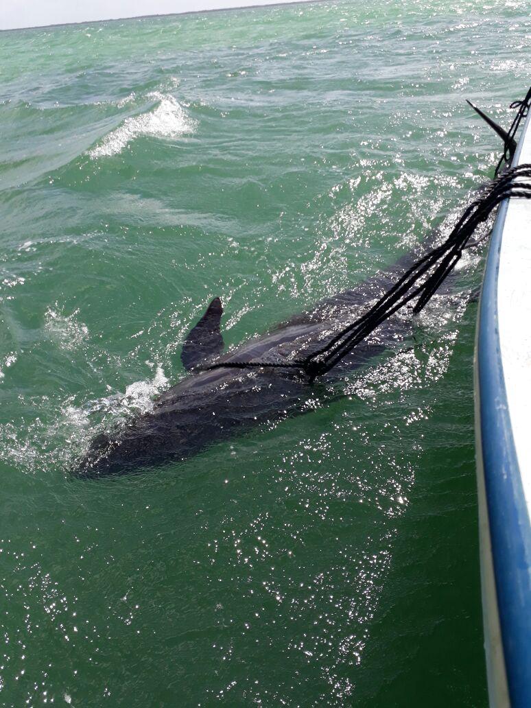 Rescatadas falsas orcas varadas en Reserva Ría Lagartos