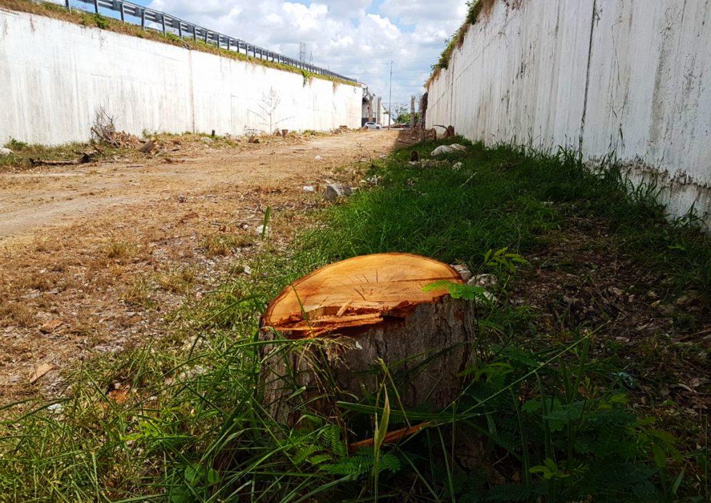 Más de 80 árboles fueron cortados en las obras del paso a desnivel Mérida-Progreso.