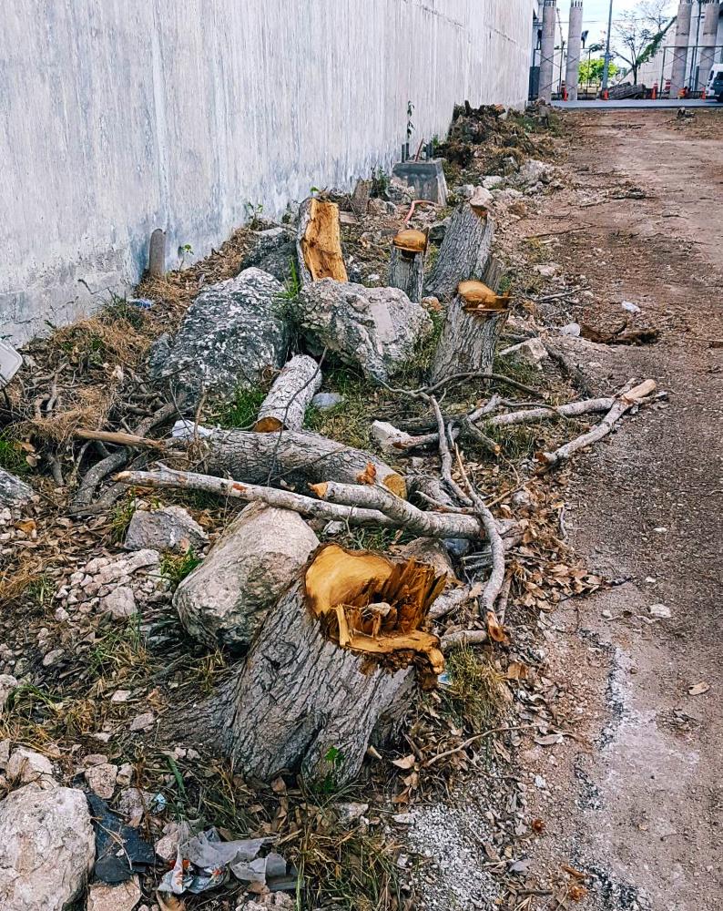 El corte de árboles en Mérida está regulado por un reglamento del Municipio.