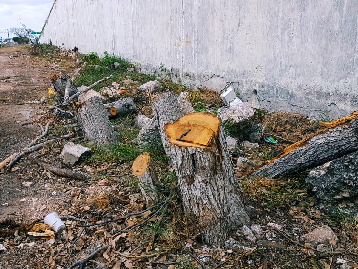 Indigna corte de árboles en obras del puente Mérida-Progreso: más de 80 (fotos)